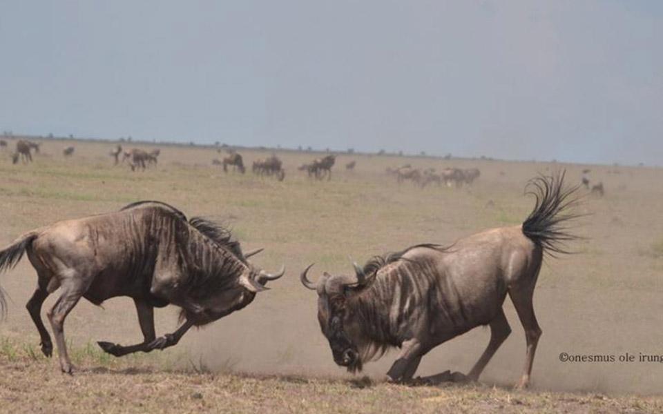 masai-mara-fighting-wildebeest-migration-safari-kenya