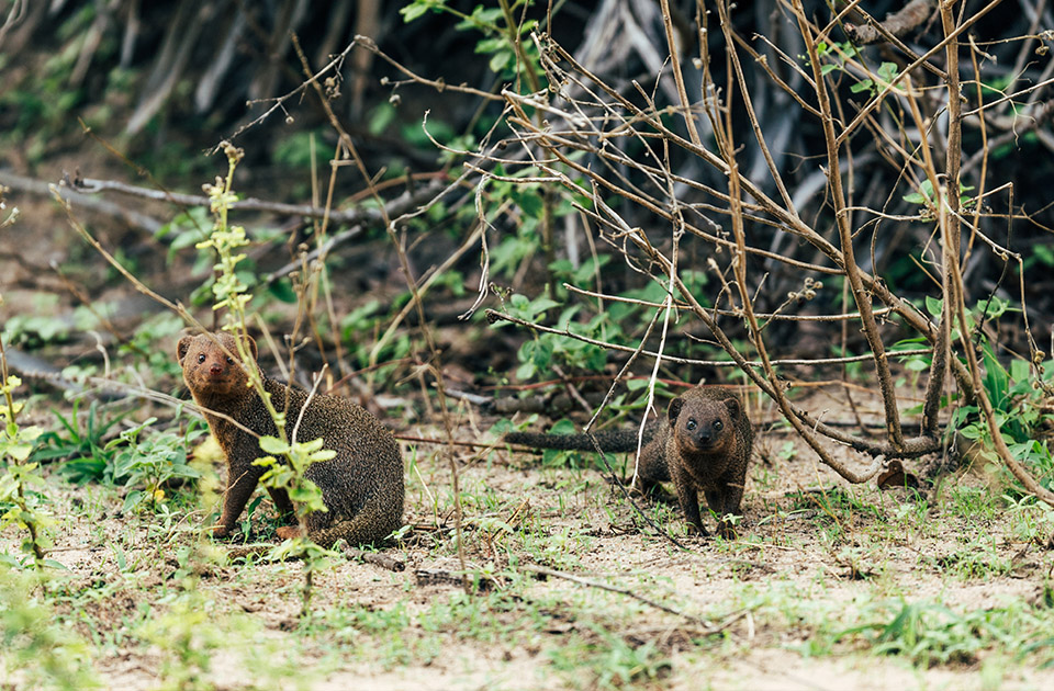 The sweet mongoose that can be found scurrying around Encounter Mara.