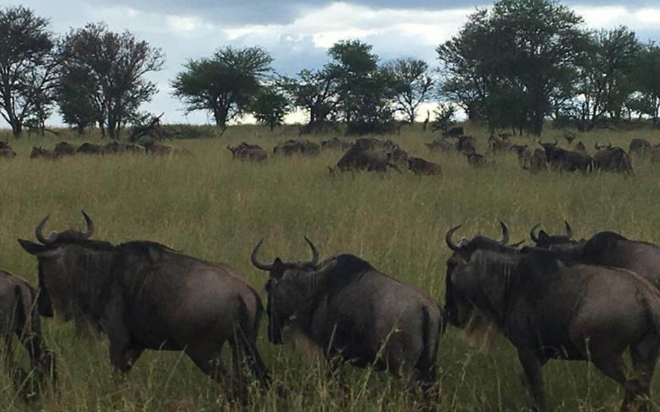 wildebeest-migration-herd-was-sighted-Kogatende-safari