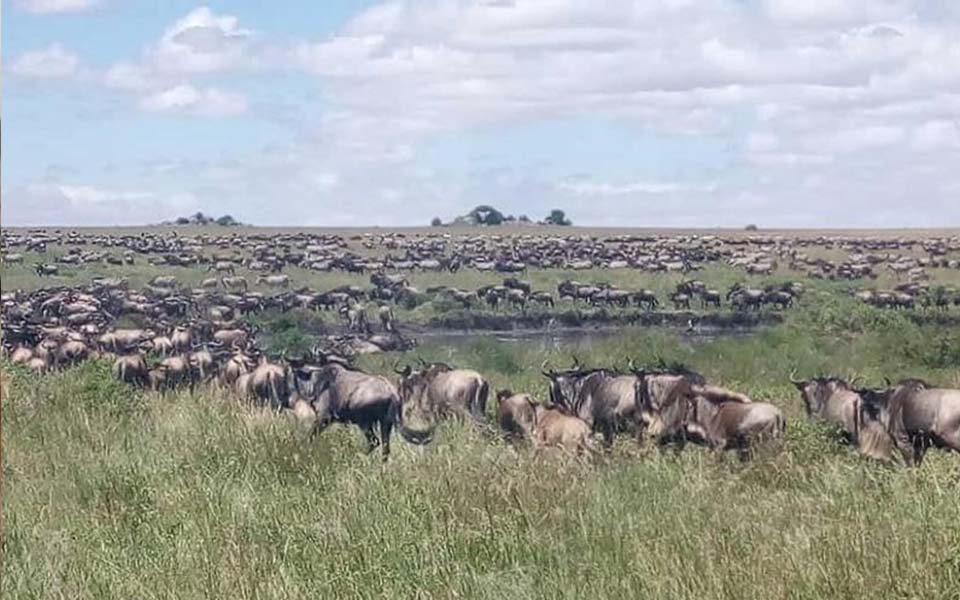 serengeti-wildebeest-safari-migration-update