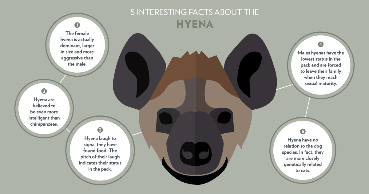 BBC One - Serengeti - Hyena Facts