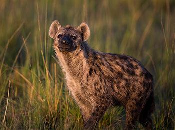 BBC One: Serengeti – The Hyena