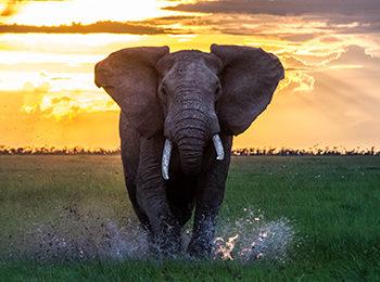 BBC One: Serengeti – The Elephant