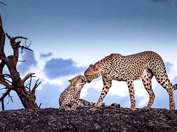 An Intimate Safari In The Mara