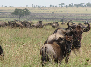 Great Migration Live Update – 08 July 2019