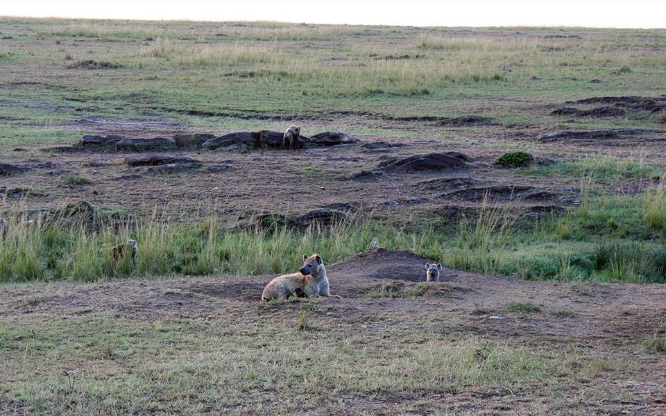 A hyena den seen in Kenya's Mara Naboisho Conservancy - Disney The Lion King