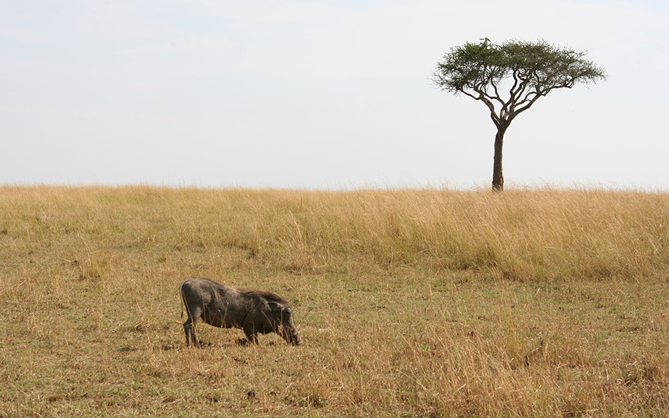Pumbaa from Disney's The Lion King takes a break to search for food in the Serengeti.