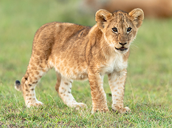 A young lion cub resembling Simba from Disney's The Lion King