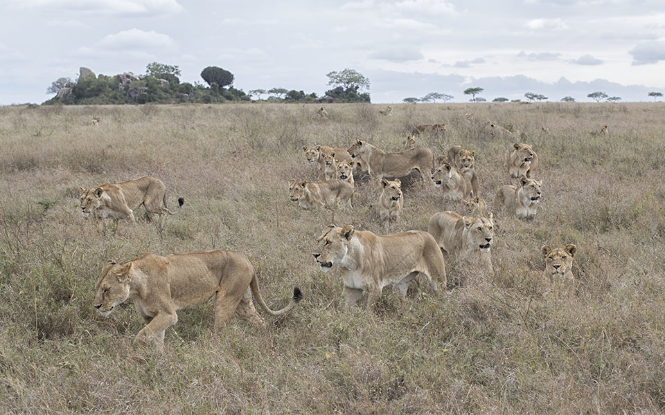Guests were absolutely amazed at the sight of this super pride in the Serengeti. Photo credits: Monique & Chris Fallows - Disney The Lion King