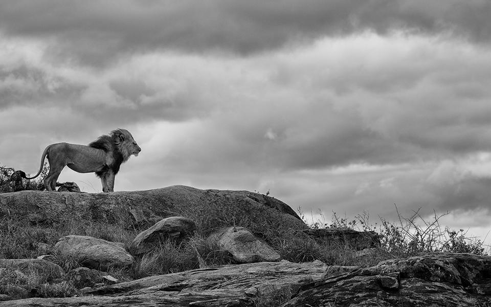 The Lion King surveys the landscape of East Africa - Disney's The Lion King