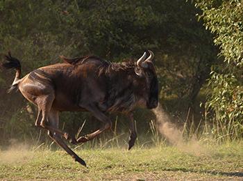 Greatwildebeest-migration-update-east-africa-safari