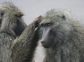 BBC One: Serengeti – The Baboon