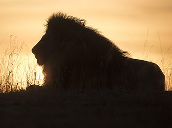 The Lion King: Facts About African Lions