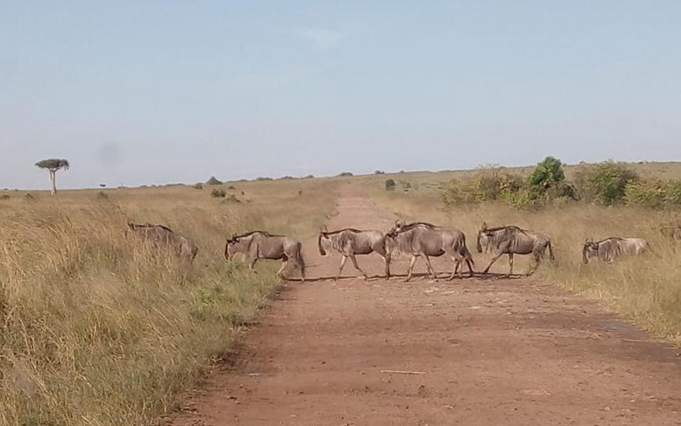 migration-up-date-spectacular-sand-river-crossing-masai-mara-national-park