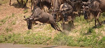 wildebeest-migration-live-update-africa-asilia-safari