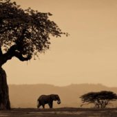 elephant-ruaha-national-park-asilia-africa-safari-travel-wildlife
