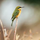 ruaha-national-park-asilia-africa-safari-travel-wildlife-bird-birding-safari