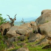 ruaha-national-park-asilia-africa-safari-travel-wildlife-kudu