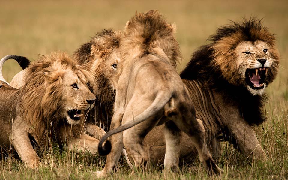 world-lion-day-east- africa-rekero-camp-masai-mara-wildlife