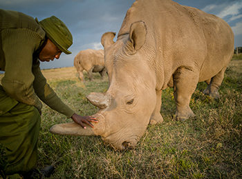 Groundbreaking Success In Northern White Rhino Egg Harvesting: Ol Pejeta Conservancy