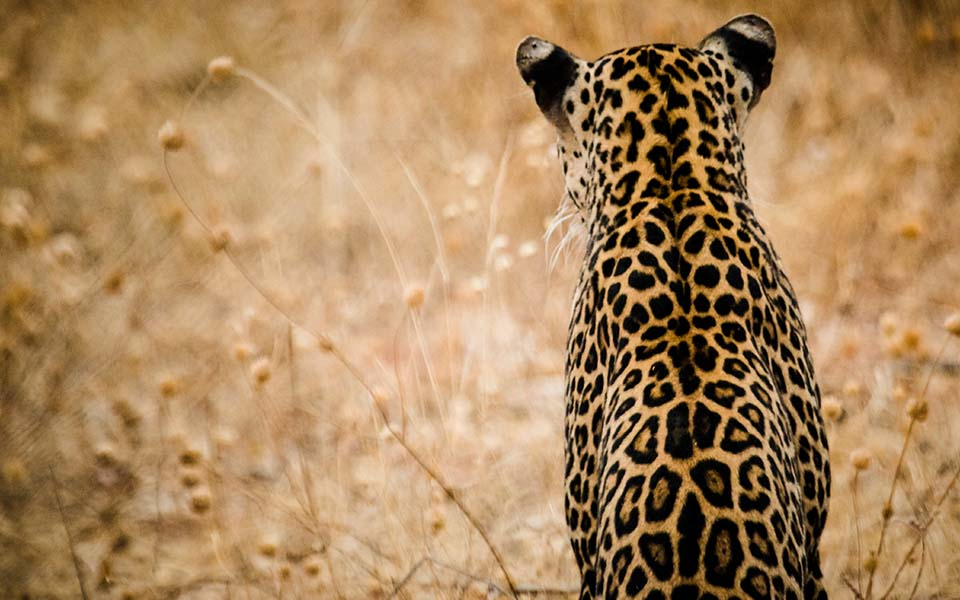 Ruaha-National-Park-Leopard-kwihala-camp-tanzania-safari-