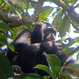 international-primate-day-rubondo-island-chimpanzee-asilia-east-africa
