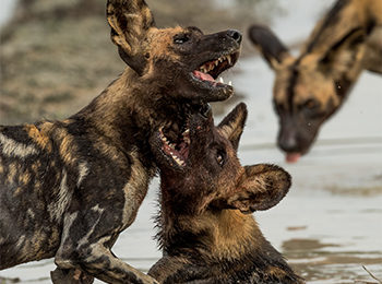 BBC One: Serengeti – The Wild Dog