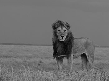 World Lion Day: Protecting East Africa's Lion Populations