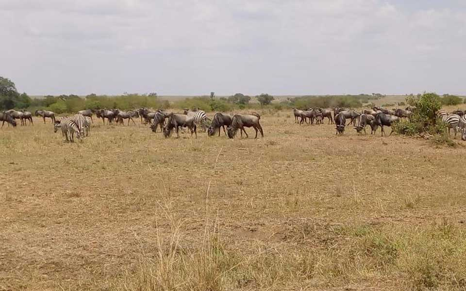 The Mara Triangle is the area where the Great Migration enters and exit the Masai Mara National Reserve