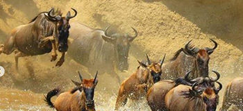 wildebeest-river-crossing-masai-mara-crossing