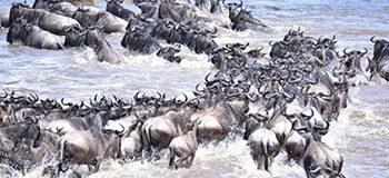 serengeti-mara-river-crossing-migration-update-tanzania-kenya-east-africa