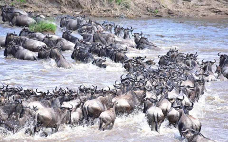 serengeti-mara-river-crossing-herdtracker-migration-update-east-africa-asilis