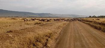 wildebeest-in-masai-mara-monday-migration