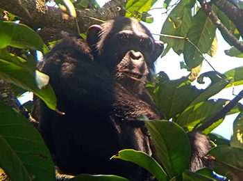 International Primate Day – Rubondo Island: A Chimpanzee Sanctuary