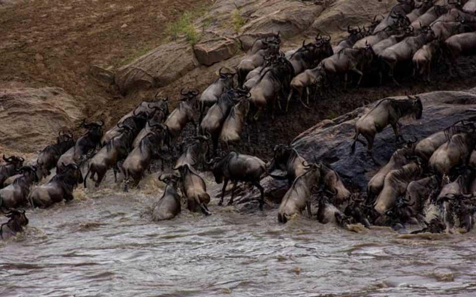 great-migration-wildebeest-crossing-herdtracker-africa-asilia