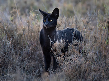 Manja The Melanistic Serval: Namiri Plains' Latest Celebrity