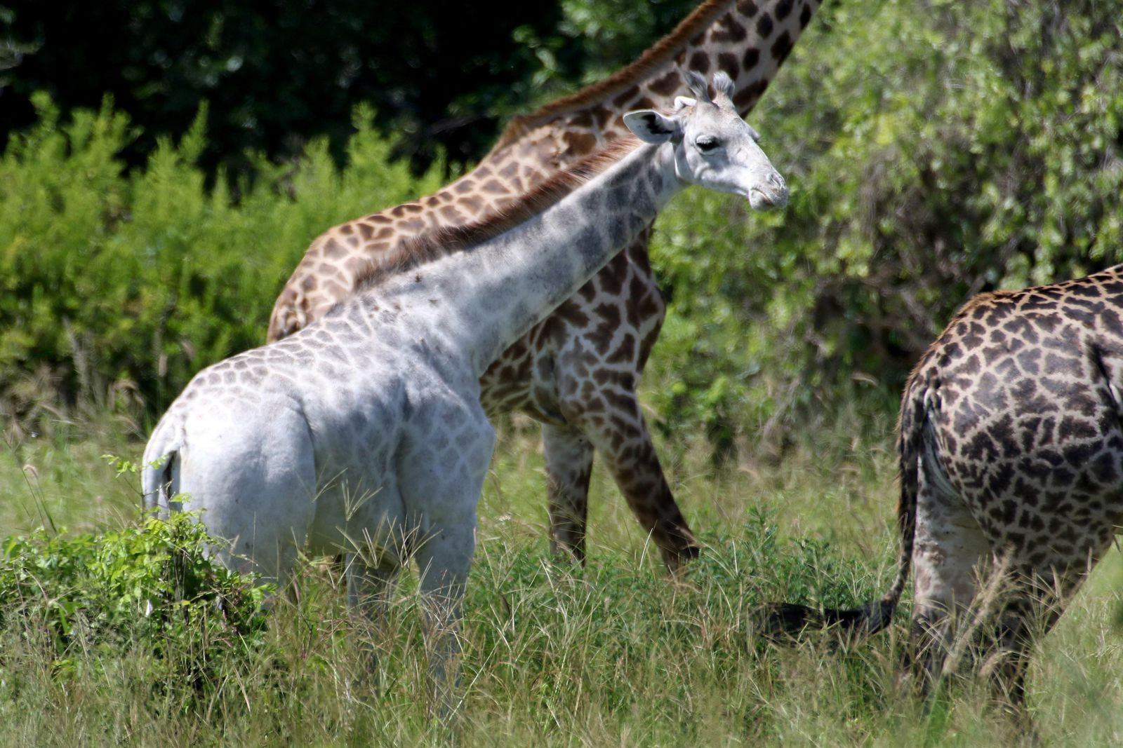 white giraffe poached in kenya