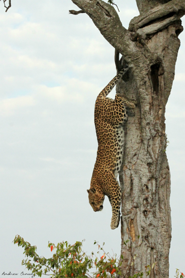 Andrew Conway African Wildlife Photographer