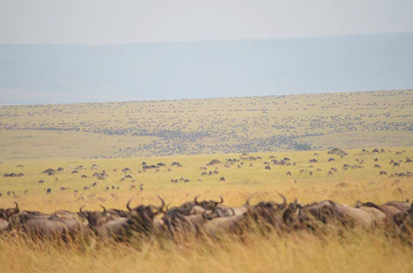 The Great Migration - Herds