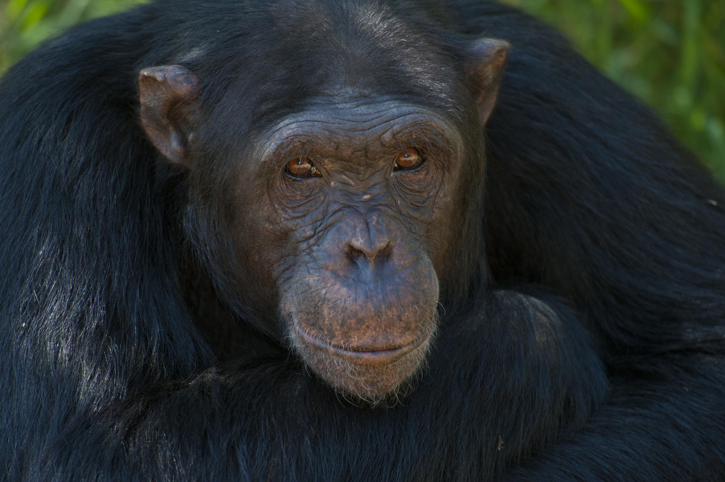 Chimpanzee in the chimpanzee sanctuary, Ol Pejeta Conservancy, Kenya. © Ian Cumming / icimages.com / Ol Pejeta Bush Camp