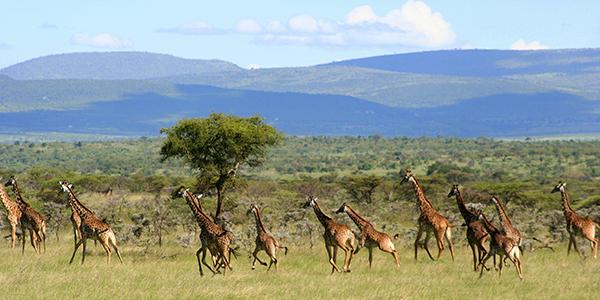 Naboisho Camp giraffes