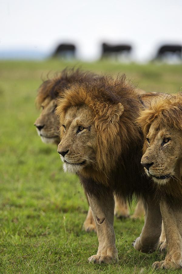 Naboisho Male Lions