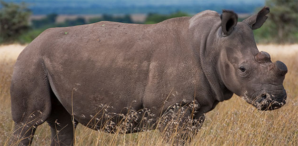 difference between white and black rhino essay Black rhino (hooked-lip rhino) •smaller than the white rhino a large bull weighs around 1000 kg •they have a rather small hooked shaped mouth for feeding on trees and shrubs.
