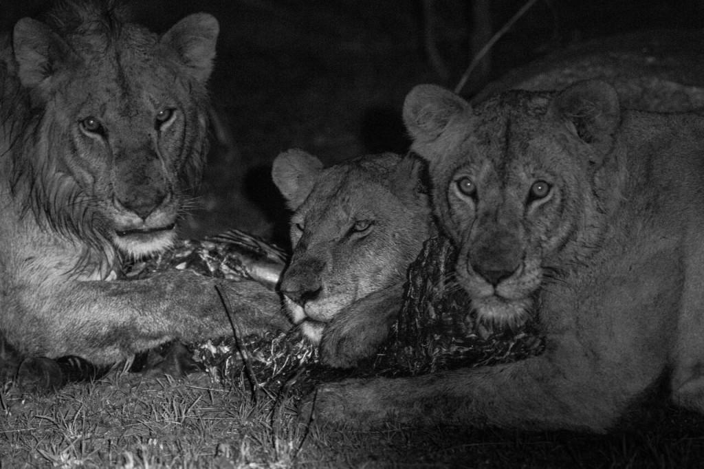 Night Drive Safari - Lion Kill