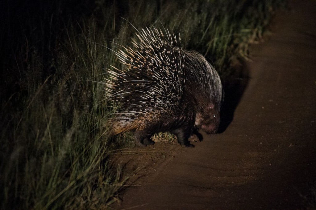 Night Drive Safari - Porqupine