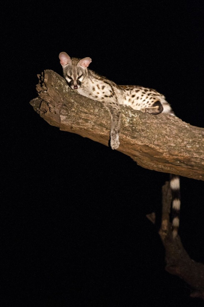 Night Drive Safari - Genet