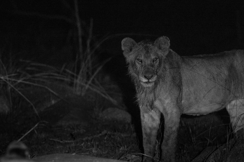Night Drive Safari - Young Lion
