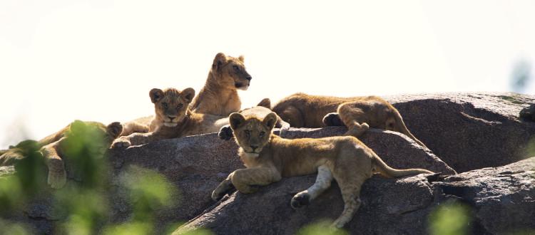 Asilia - Dunia - Lion cubs