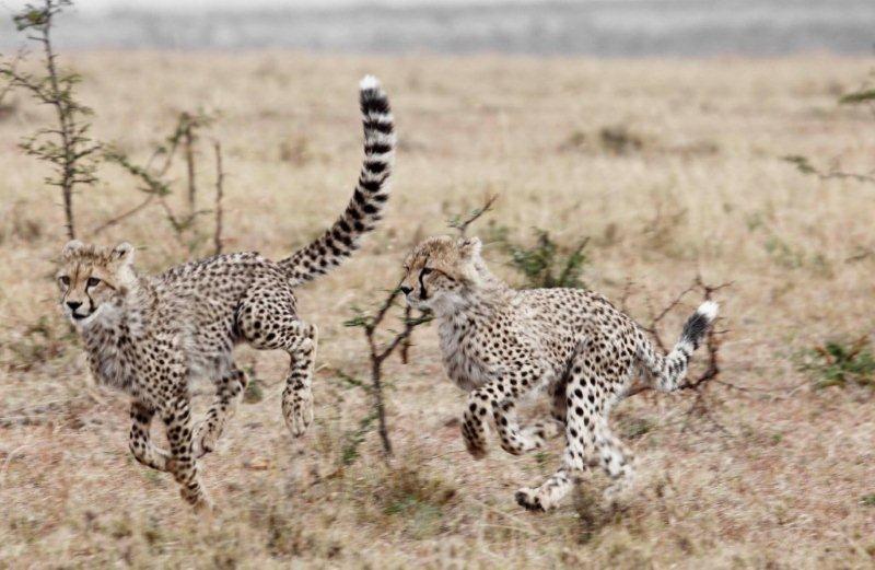 Asilia - Naboisho - cheetah
